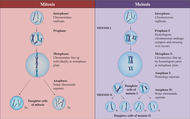 essay questions about meiosis and mitosis Ok so i have this essay question which is limited to 200 words biology essay on cell division two major difference of mitosis and meiosis.